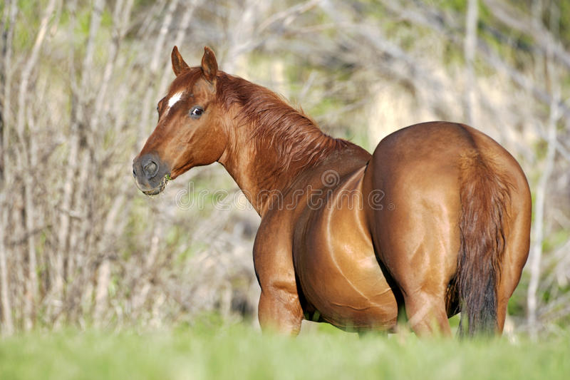 Chestnut Quarter-Horse at pasture. Quarter horse Mare standing in meadow, watching royalty free stock images