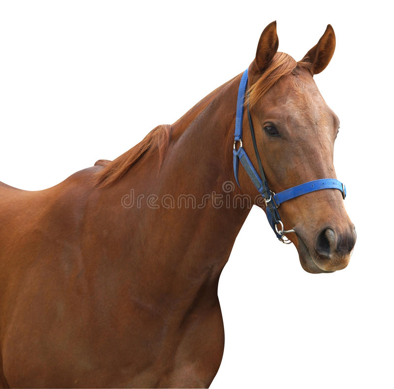 Download Chestnut Racehorse Royalty Free Stock Images - Image: 9687829