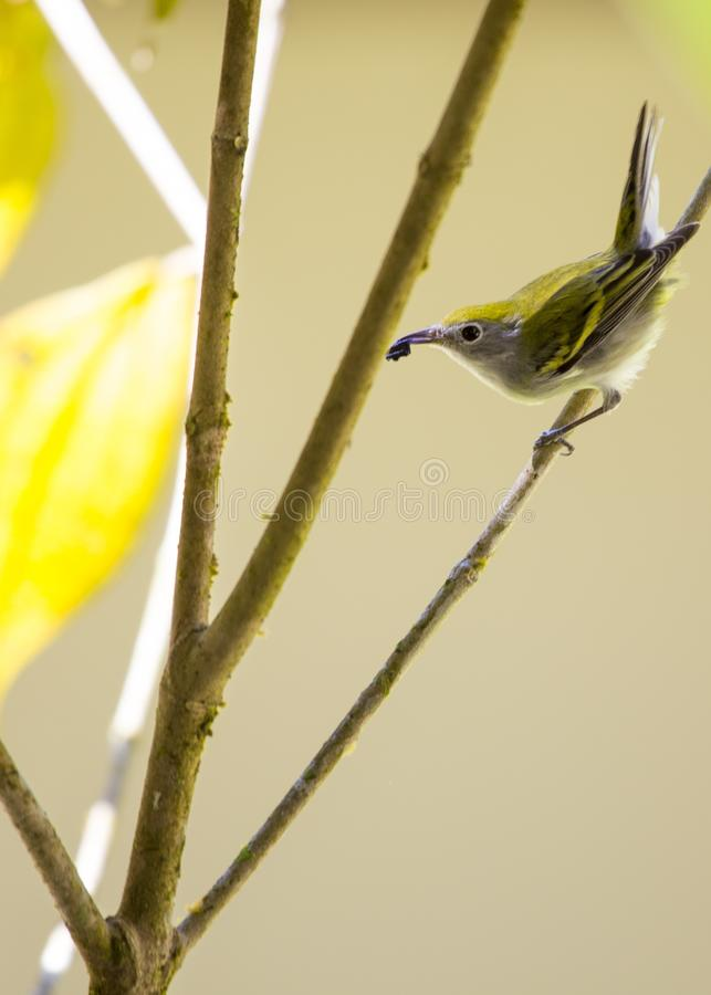 Chestnut-Sided Warbler Setophaga pensylvanica. Spotted outdoors royalty free stock photos
