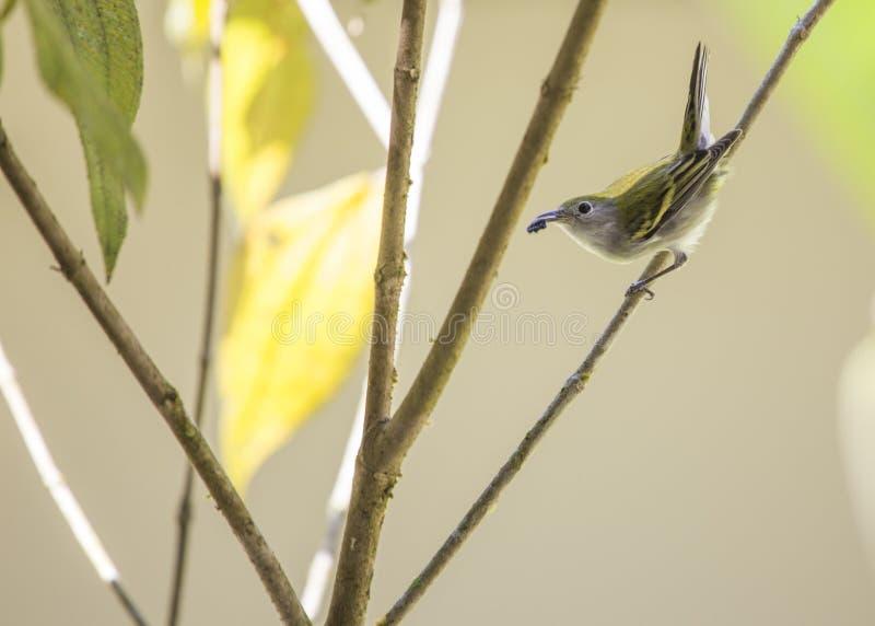 Chestnut-Sided Warbler Setophaga pensylvanica. Spotted outdoors stock images
