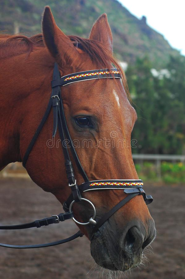 Chestnut sorrel Arabian horse with bridle with headstall and reins royalty free stock image