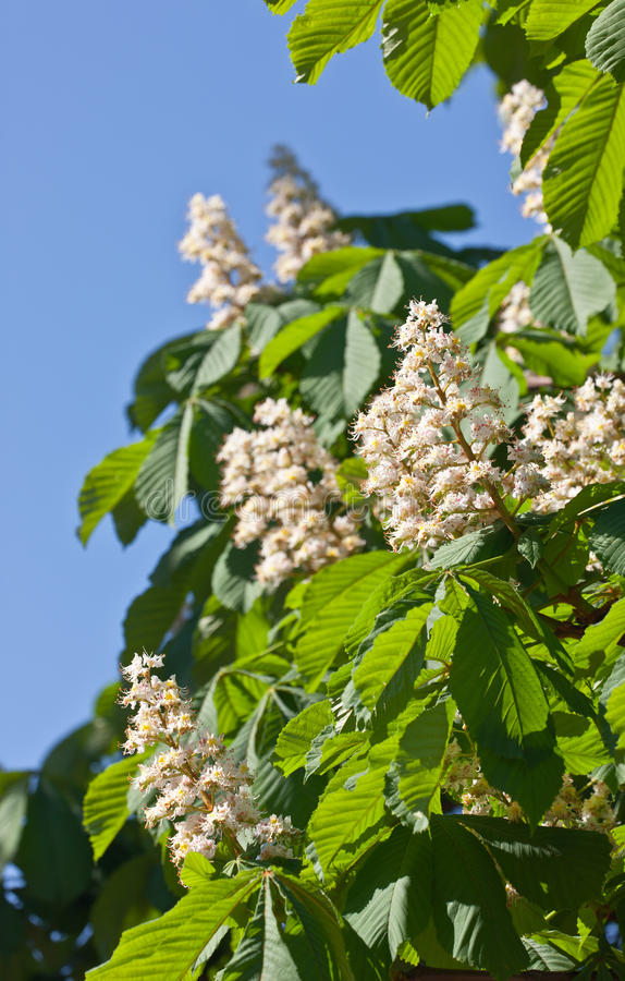 Download Chestnut in the spring stock photo. Image of blossom - 24921836