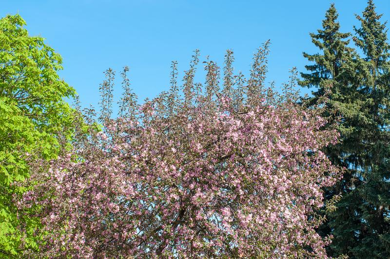 Chestnut, spruce and Blooming apple tree with pink blossoming branches in park in sunny day on spring against blue sky. Background stock image