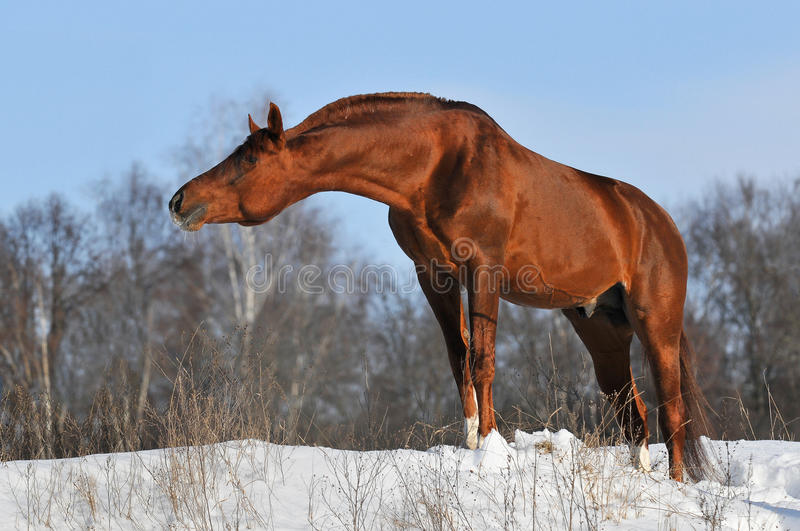 Download Chestnut Stallion Portrait In Winter Stock Photo - Image of forest, race: 13650794