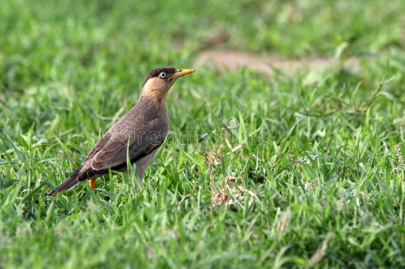Chestnut starling. Beautiful shot of chestnut starling in sunny day royalty free stock image