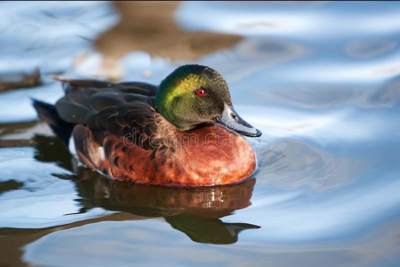 Chestnut teal duck. Male swimming royalty free stock photography