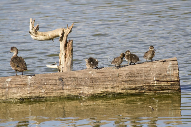 Chestnut Teal and Ducklings royalty free stock photos