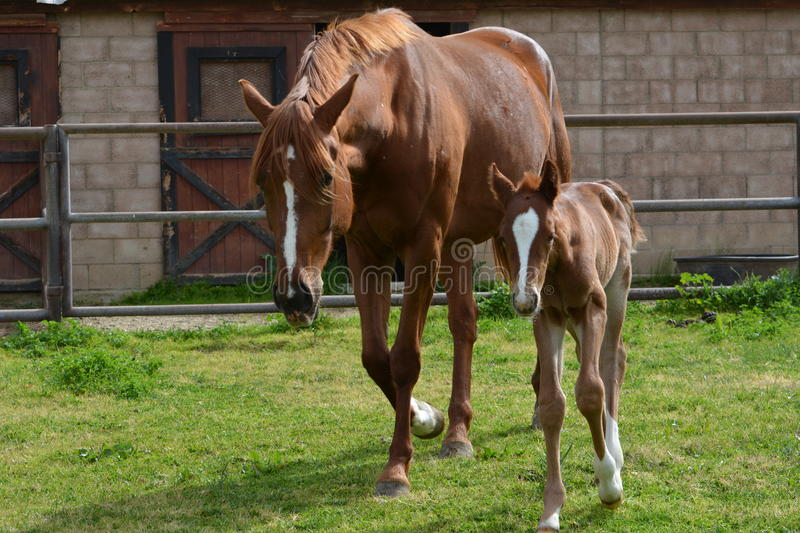 Chestnut Thoroughbred Colt and warmblood mare in lush pasture stock photography