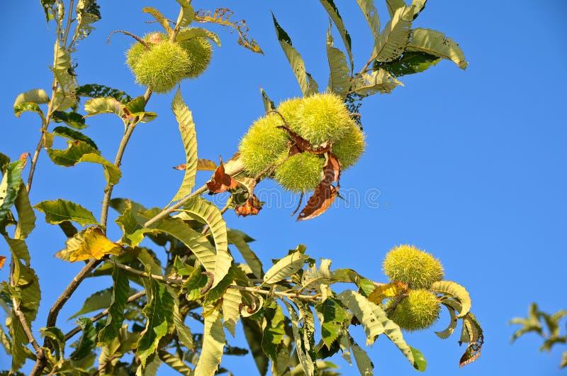 Download Chestnut Tree stock image. Image of branch, chestnut - 22394241