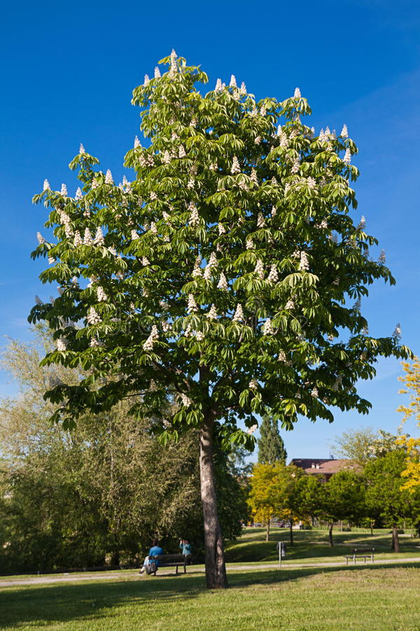 Download Chestnut tree stock photo. Image of blooming, spring - 26964762