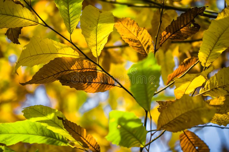 Chestnut tree branches in fall season chestnut green leaves, creative background pattern. Colorful autumn fall season chestnut leaves in selective color stock photo