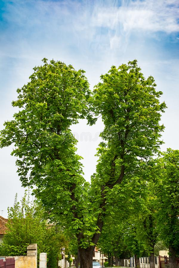 A chestnut tree with branches in shape of heart royalty free stock photography