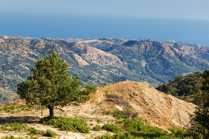 Chestnut tree in calabrian landscape royalty free stock photo