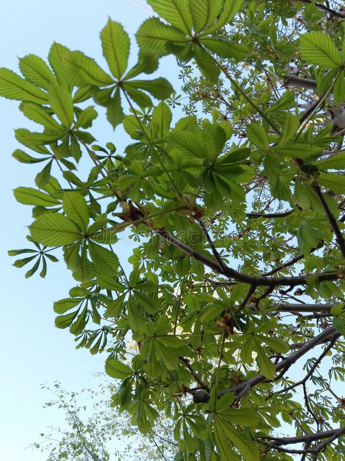 Chestnut tree royalty free stock images