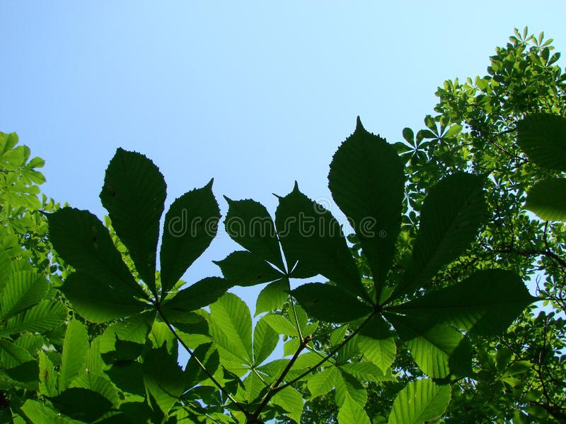 Chestnut tree leaves. chestnut horse bunches of chestnut on blue sky. Background stock image