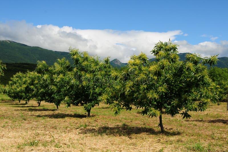 Chestnut tree orchard stock image