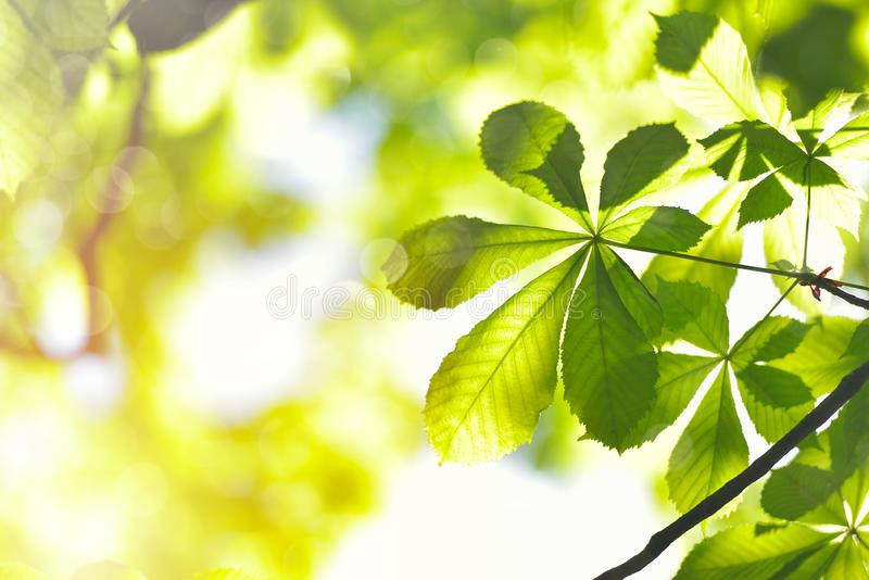Chestnut Tree Twig, Fresh Green Leaves in Early Spring, selective focus royalty free stock images