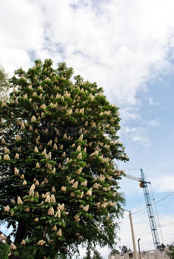 Chestnut tree with white flowers and new green leaves, mounting crane at construction of apartment building, cloudy spring sky. Background royalty free stock photography