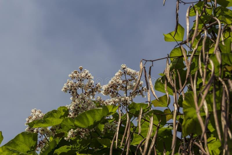 A chestnut trees royalty free stock photos