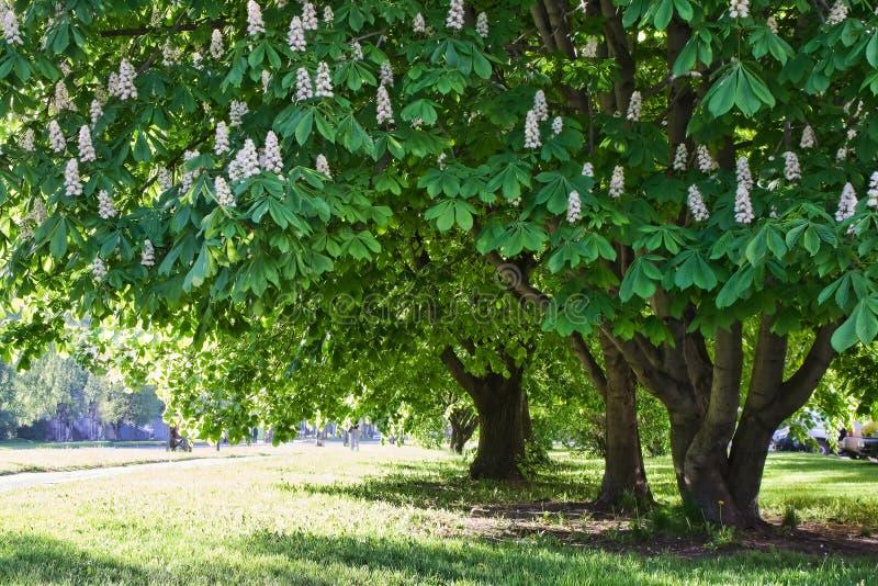 Download Chestnut trees in park stock image. Image of overhanging - 13245083