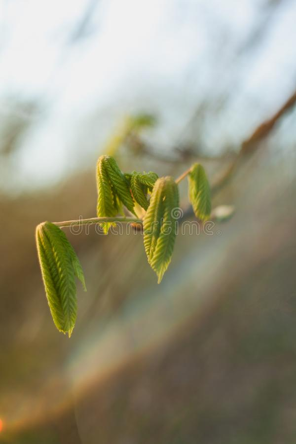 Chestnut unfurling new leaves during an early spring with soft, ephemeral light. Bokeh picture of a chestnut flower unfolding in the early spring stock photo
