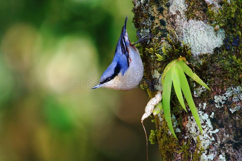 Chestnut-vented Nuthatch royalty free stock images
