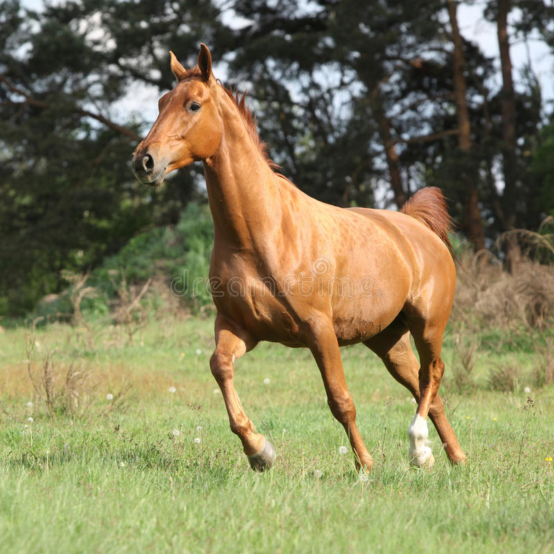 Chestnut warmblood running on green pasturage. In front of dark trees stock images