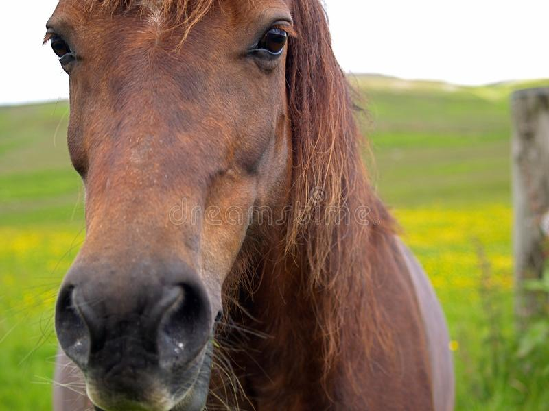 Chestnut Welsh Cob. Section D royalty free stock photos