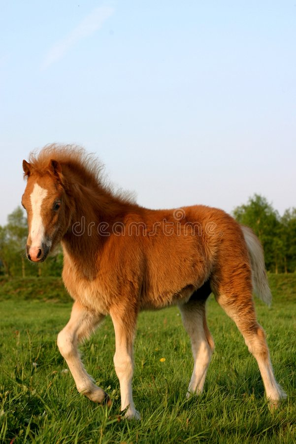 Chestnut welsh foal royalty free stock photo