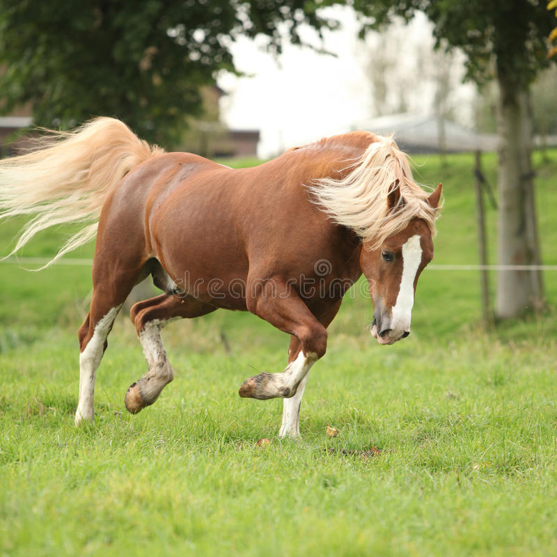 Chestnut welsh pony with blond hair running on pasturage. Nice chestnut welsh pony with blond hair running on pasturage stock images