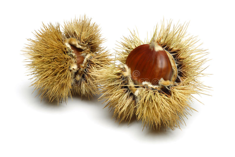 Chestnut royalty free stock photography