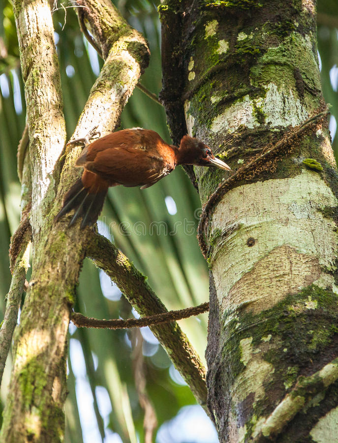 Chestnut Woodpecker. The Chestnut Woodpecker (Celeus elegans) feeds not only on insects but also on fruits, it is an inhabitant of the dense peruvian rainforest stock images