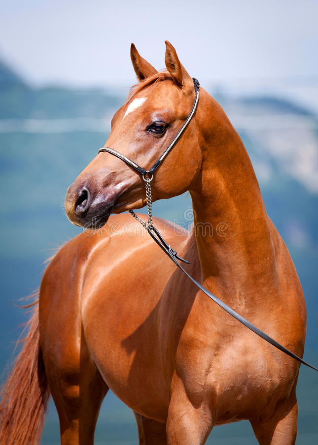 Chestnut young horse portrait. Arabian colt stock images