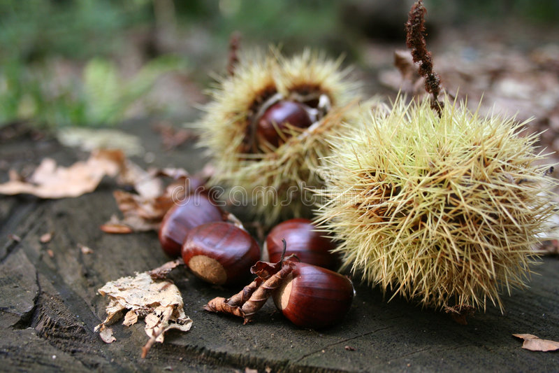 Chestnuts 2 stock image