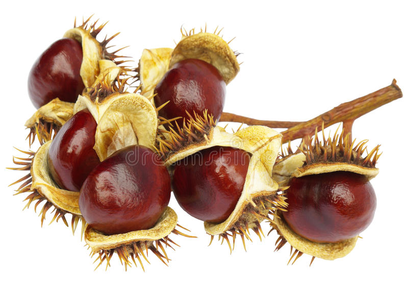 Download Chestnuts stock photo. Image of fallen, chestnuts, hippocastanum - 21850608