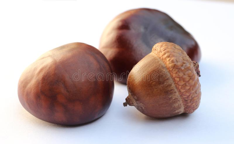 Chestnuts and acorn isolated on white background.  royalty free stock photo