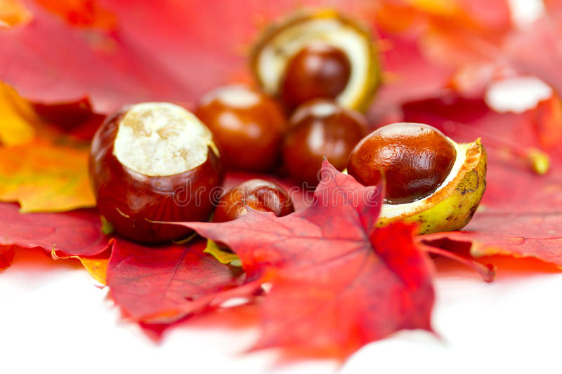 Download Chestnuts on autumn leaves stock photo. Image of circle - 21506038