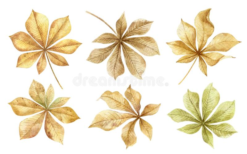 Chestnuts.Autumn leaves set isolated on white background.Traditional thanksgiving and fall season decoration.Gifts of. Nature for crafts with children.Hand stock photos