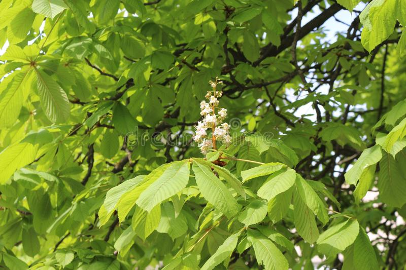Chestnuts bloomed white flowers. The chestnut blossoms look like a candle. stock photo
