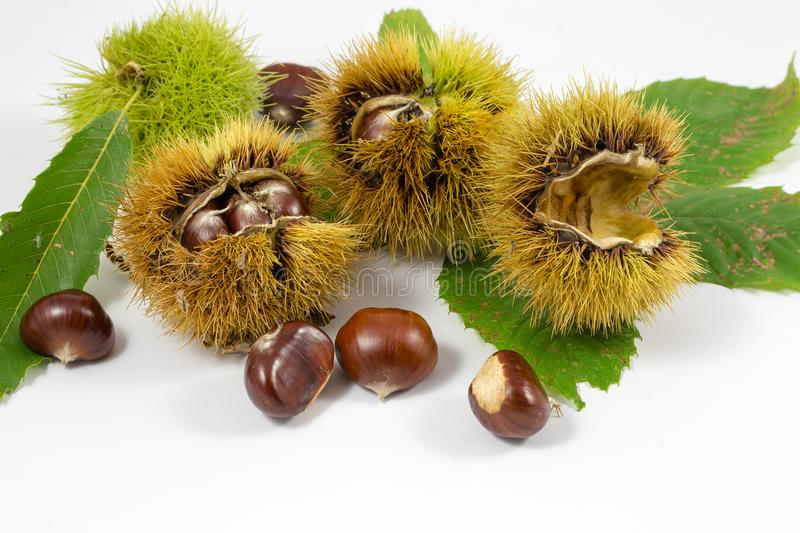 Chestnuts and chestnut curls in a white background royalty free stock photo