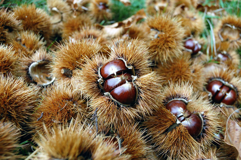 Download Chestnuts With Curls Royalty Free Stock Image - Image: 16505996