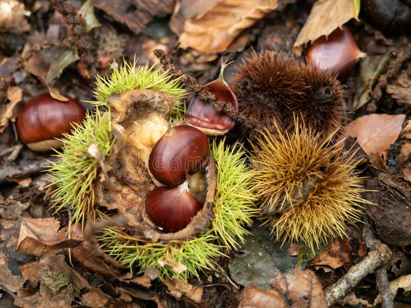 Chestnuts on the forest floor in autumn stock images