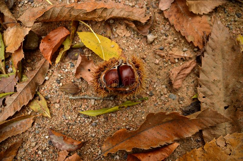 Chestnuts among autumn leaves royalty free stock photos