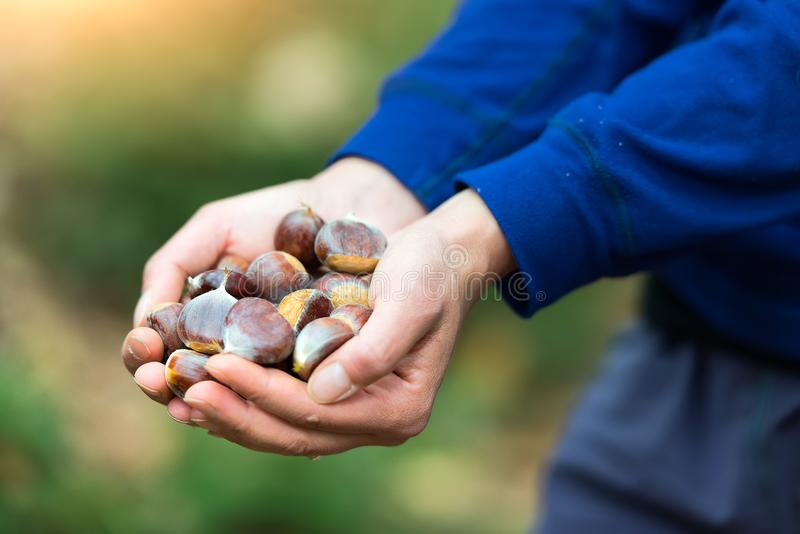 Chestnuts in the hand just picked up in the woods royalty free stock photos