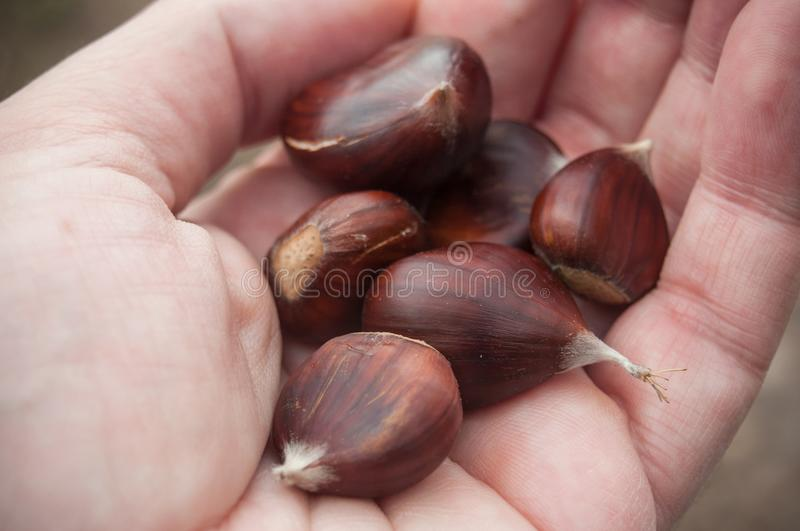 chestnuts in hand of man royalty free stock image