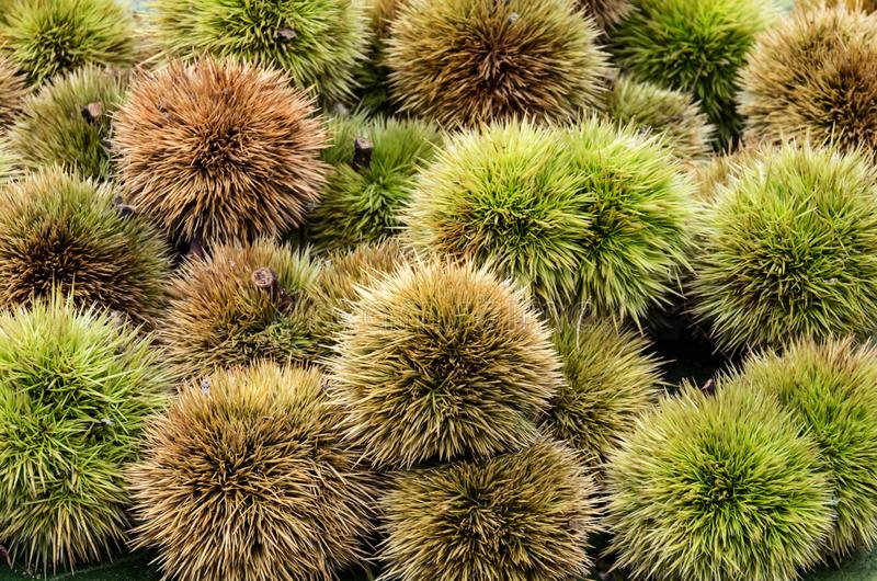 Chestnuts and hedgehog just picked stock photos