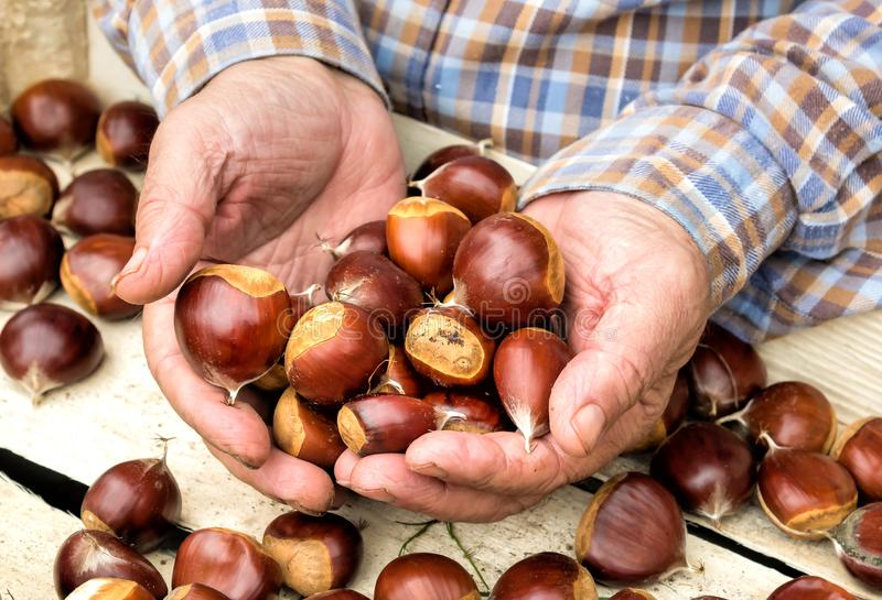 Chestnuts in man hands. royalty free stock photo