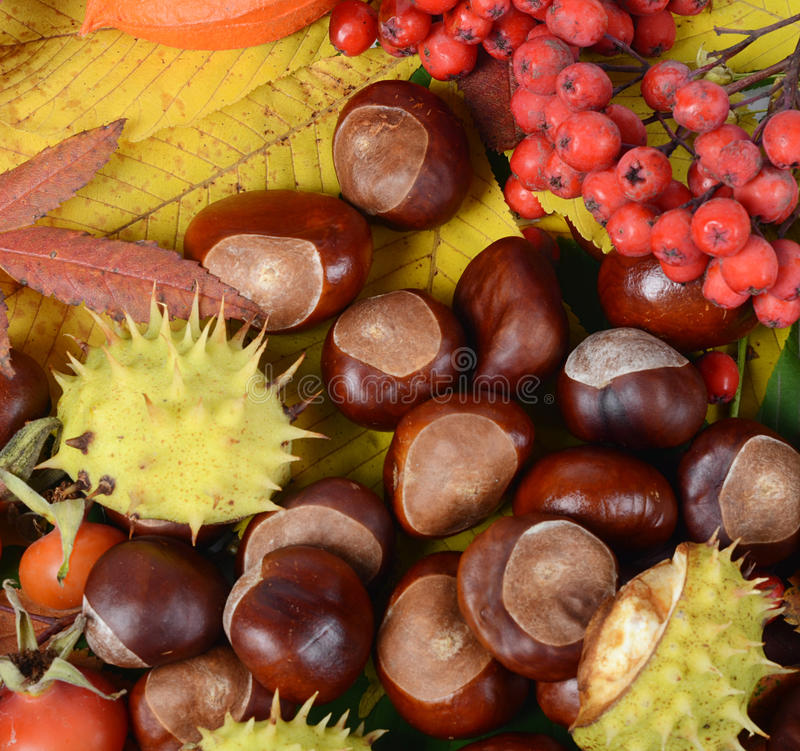 Free Chestnuts On Autumn Leaves Stock Image - 27078621