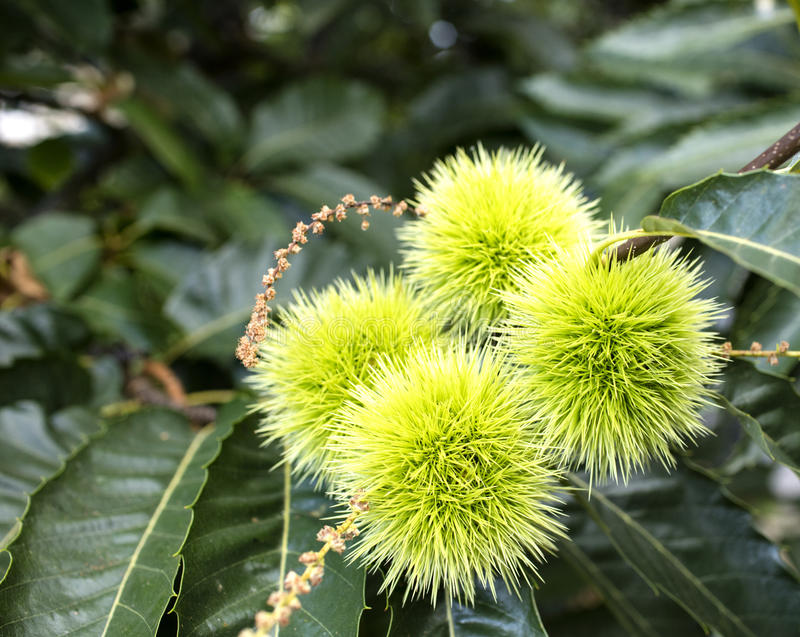 Chestnuts in summer stock photography