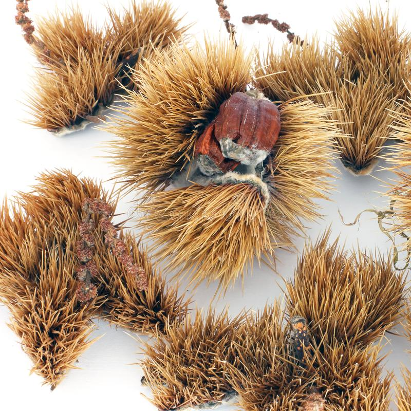 Chestnuts on a white background stock photo